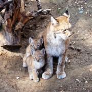 Рысята на прогулке. Фото: зоопарк Великого Устюга