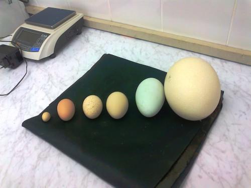В сравнении (справа налево) яйца страуса, черного лебедя, павлина, индюка, обыкновенной куры и куры декоративной